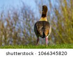 rear view of egyptian goose... | Shutterstock . vector #1066345820