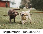 chocolate and yellow labrador... | Shutterstock . vector #1066384370