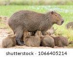 capybara  hydrochaeris...   Shutterstock . vector #1066405214