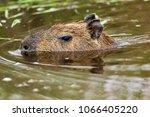 capybara  hydrochaeris...   Shutterstock . vector #1066405220