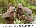 Capybara  Hydrochaeris...
