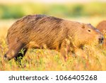 capybara  hydrochaeris...   Shutterstock . vector #1066405268