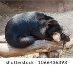 the big bear young strong sleep | Shutterstock . vector #1066436393
