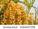 Dates Fruits Bunch
