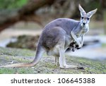 Australian Western Grey...