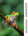 red eyed tree frog   agalychnis ... | Shutterstock . vector #1066463234