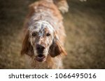 dog english setter | Shutterstock . vector #1066495016