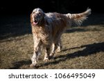 dog english setter | Shutterstock . vector #1066495049
