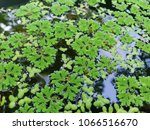 Small photo of fresh azolla and duckweed