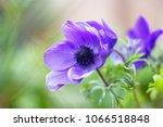 purple anemone flowers  anemone ... | Shutterstock . vector #1066518848