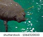 amazonian manatee  trichechus... | Shutterstock . vector #1066520033