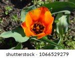 one tulip on the bed. | Shutterstock . vector #1066529279