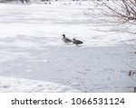 A Pair Of Wild Ducks On The Ic...