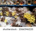 various species of mushrooms...   Shutterstock . vector #1066546220