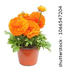 Small photo of Ranunculus (Ranunculaceae) pot for planting in the spring garden isolated on white background, including clipping path without shade. Germany