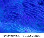 brain coral in raja ampat ...   Shutterstock . vector #1066592003