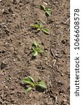 Small photo of Freshly emerged sugar beet seedlings with prills of ammonium nitrate fertiliser and previous cereal crop trash