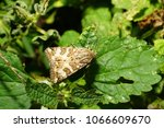 Small photo of Macro butterfly moths of the Gelechiidae family with long antennae sitting on a green leaf of nettle in the foothills of the Caucasus