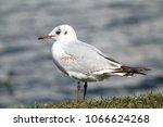 black headed gull ... | Shutterstock . vector #1066624268