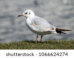 black headed gull ... | Shutterstock . vector #1066624274