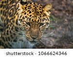 amur leopard  panthera pardus... | Shutterstock . vector #1066624346