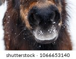A Nose Of Pony In Folling Snow