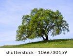 valley oak  quercus lobata  on... | Shutterstock . vector #1066730159