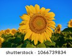 sunflower on the background of... | Shutterstock . vector #1066739834