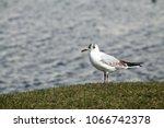 black headed gull ... | Shutterstock . vector #1066742378