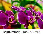 moth orchid flowers ... | Shutterstock . vector #1066770740