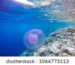 observation of jellyfish during ... | Shutterstock . vector #1066773113
