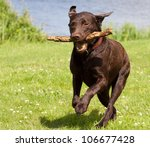 A Brown Labrador Running With ...