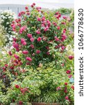 Small photo of Tuscany Superb climbing rose