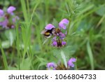 bumblebee and flower | Shutterstock . vector #1066804733
