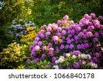 rhododendron plants in bloom... | Shutterstock . vector #1066840178