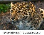 amur leopard  panthera pardus... | Shutterstock . vector #1066850150