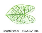 caladium  leaves on isolated... | Shutterstock . vector #1066864706