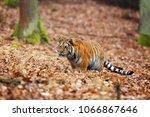 the siberian tiger  panthera... | Shutterstock . vector #1066867646