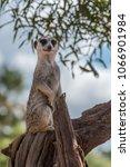 Meerkat Standing On A Branch...