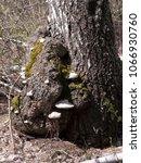 Tree Fungus  Wood Mushroom.