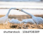 Swans Attacks Nature