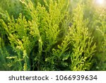 green conifer tree on a sunny... | Shutterstock . vector #1066939634