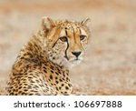 Cheetah Relaxes By The Road ...