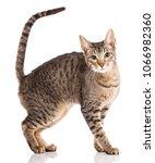 serengeti thoroughbred cat on a ... | Shutterstock . vector #1066982360