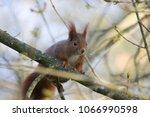cute squirrel climbing on a... | Shutterstock . vector #1066990598