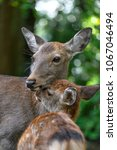 Small photo of Shika deer mother and fawn cuddling and kissing together