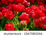 close up of flowers blooming... | Shutterstock . vector #1067083346