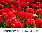 close up of flowers blooming... | Shutterstock . vector #1067083349