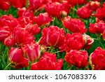 close up of flowers blooming... | Shutterstock . vector #1067083376