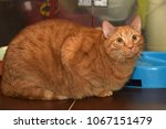 very thick red cat sitting on... | Shutterstock . vector #1067151479